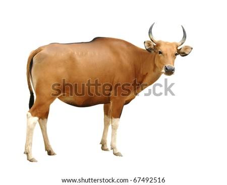 female banteng isolated - stock photo