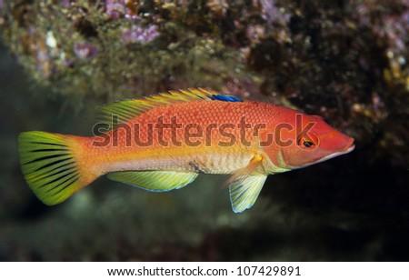 Female barred hogfish - stock photo