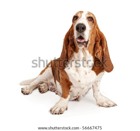 Female Basset Hound dog sitting down and isolated on white
