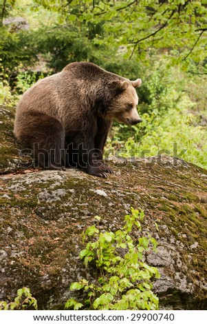 Female bear sitting on the rock.