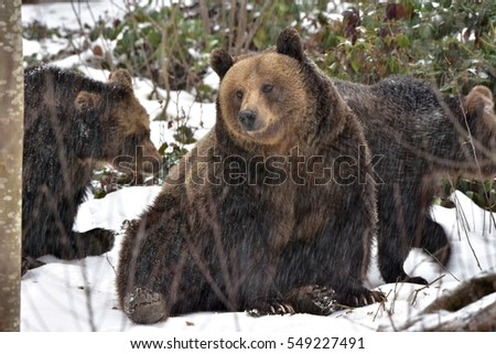 female bear with young  cubs