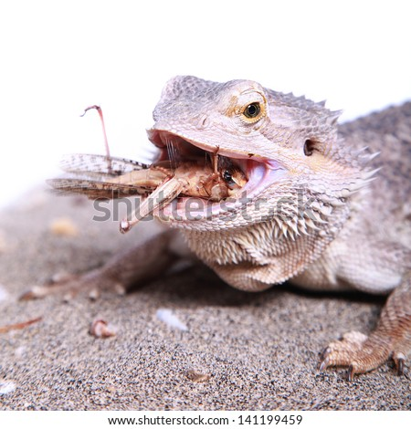 female bearded dragon chewing on a grasshopper - stock photo