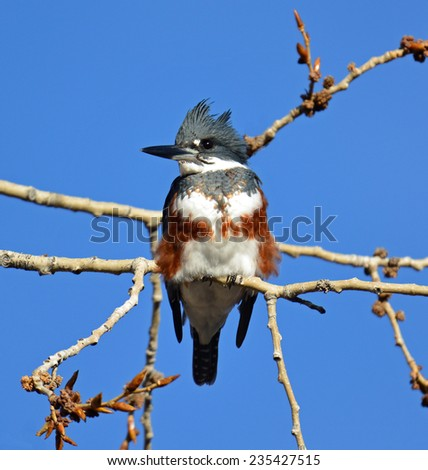 female belted  kingfisher in  a tree at Sterne park in Littleton, colorado - stock photo