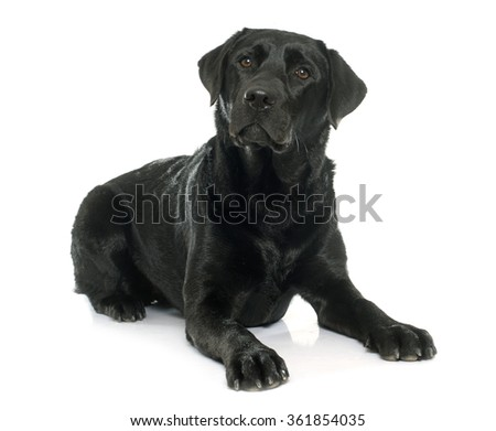 female black labrador retriever in front of white background - stock photo