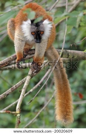 female black lemur passes from a branch to branch in searches of food - stock photo