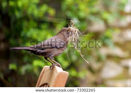 Female Blackbird gathering nest building material - stock photo