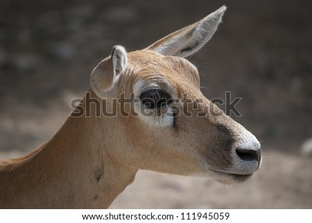 Female blackbuck, (Antilope cervicapra), antelope species native to the Indian Subcontinent.