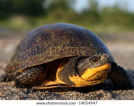 Female Blanding's Turtle - stock photo