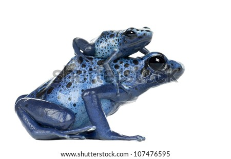 Female Blue and Black Poison Dart Frog with young, Dendrobates azureus, against white background - stock photo