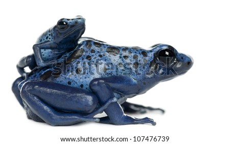 Female Blue and Black Poison Dart Frog with young, Dendrobates azureus, portrait against white background - stock photo