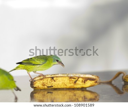 Female Blue Dacnis eating banana. It's a colorful green and light blue bird. - stock photo