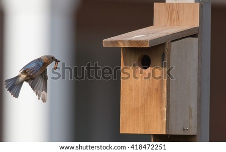 Female Bluebird at bird house with food. - stock photo