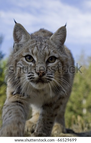 Female Bobcat adopts stalking pose - stock photo