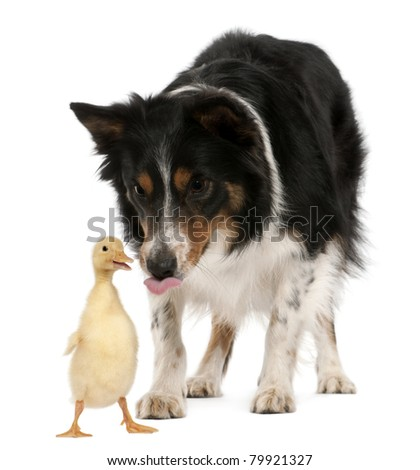 Female Border Collie, 3 years old, playing with duckling, 1 week old, in front of white background - stock photo
