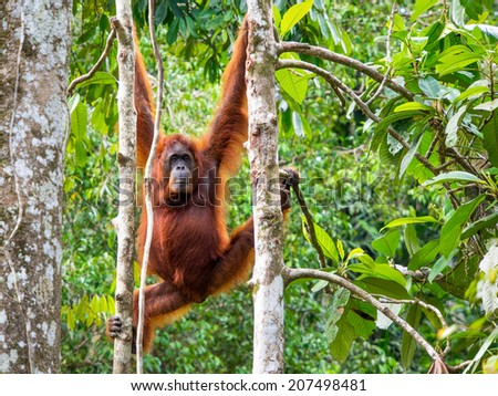 Female Borneo Orangutan at the Semenggoh Nature Reserve in Kuching, Malaysia. - stock photo