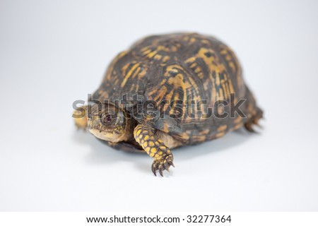 female box turtle isolated on white