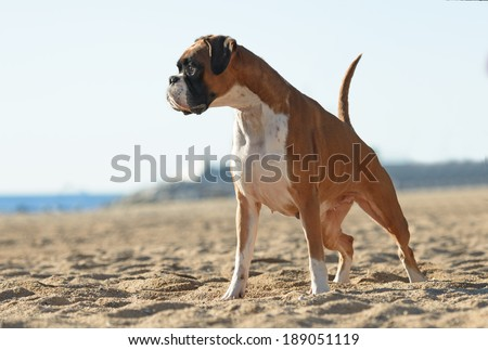 Female boxer dog playing at the beach