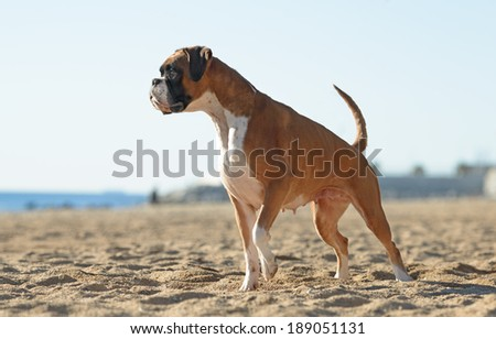 Female boxer dog playing at the beach - stock photo