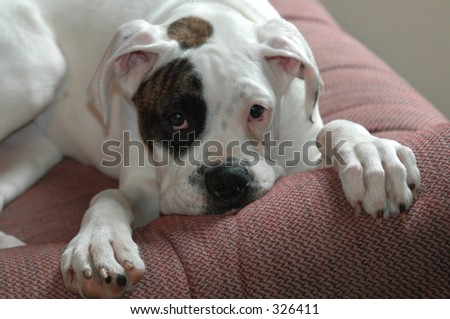Female Boxer Puppy resting in a chair