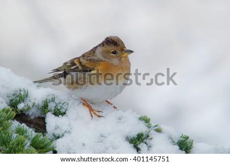 Female brambling sitting on a snowy cedar branch - stock photo