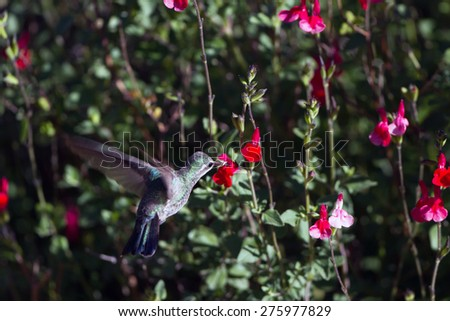 Female Broad-billed Hummingbird takes nectar from a red flower - stock photo