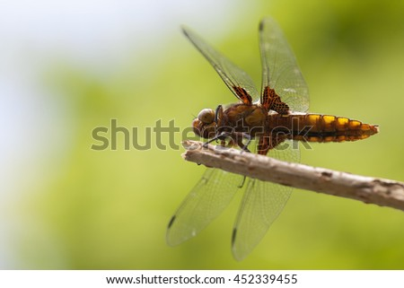 Female broad-bodied chaser - Abdomen