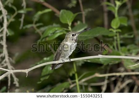 Female broad-tailed hummingbird perched on a hummingbird feeder in Arizona. - stock photo