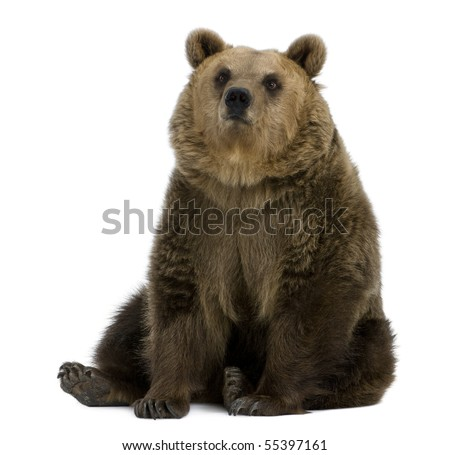 Female Brown Bear, 8 years old, sitting against white background - stock photo