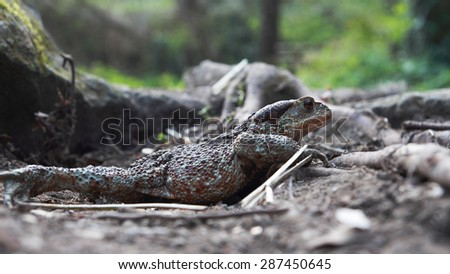 female brown toad in a side view - stock photo