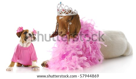 female bulldog puppy in pink looking up at goat dressed like a princess with reflection on white background - stock photo