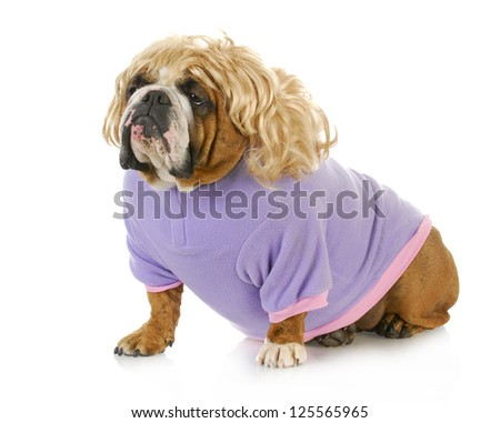 female bulldog wearing blonde wig and purple coat isolated on white background - stock photo