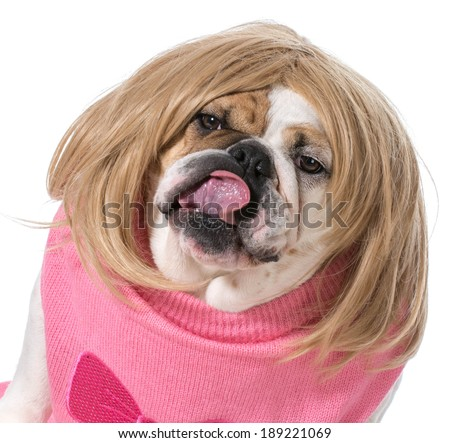 female bulldog wearing wig and licking lips - stock photo