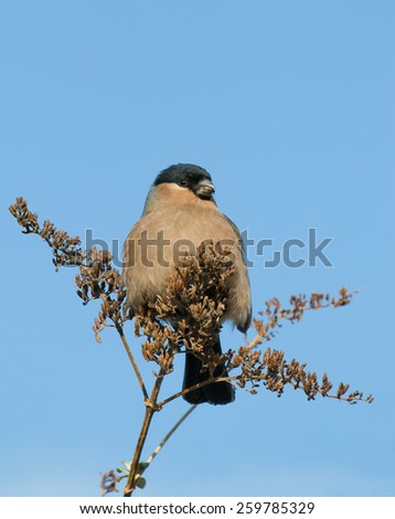 Female Bullfinch eating seeds from tree during winter. - stock photo