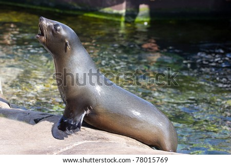 Female californian sealion (Zalophus californianus) basking on a rocky outcrop - stock photo