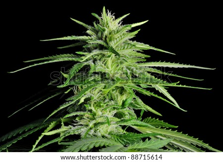 Female Cannabis Plant, Black Background - stock photo