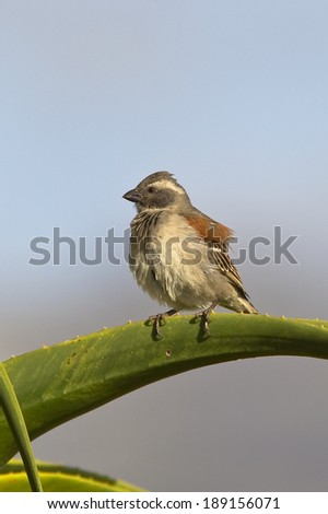 Female Cape Sparrow (Passer melanurus) perched on an aloe plant against a clear blurred sky - stock photo
