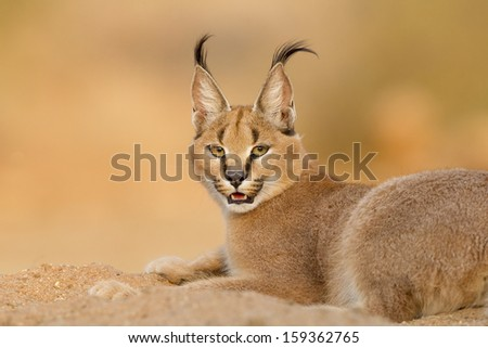 Female Caracal rsting in sand in South Africa