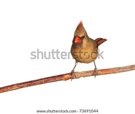 female cardinal looks forward while finishing tasty safflower seed, white background - stock photo
