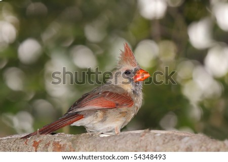 female cardinal peers back while perched in a blue spruce pine tree - stock photo