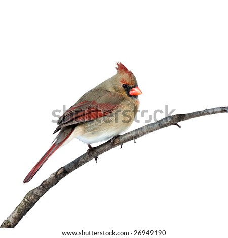 female cardinal perched on a white background - stock photo