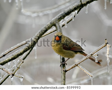 Female cardinal perched on an icy tree branch - stock photo