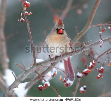 Female cardinal perched on branch in snowstorm - stock photo