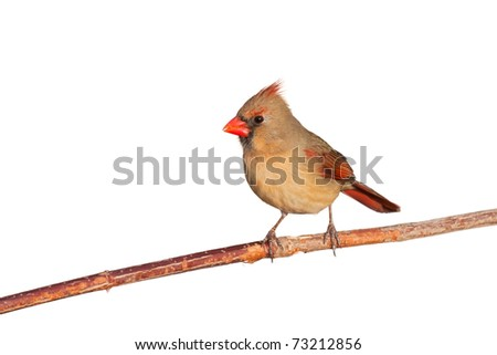 female cardinal relaxes as she sits on a branch; white background