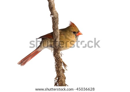 female cardinal rests on a shredded vine; white background - stock photo