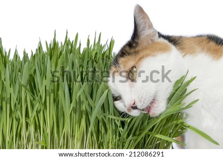Female cat chewing grass, isolated