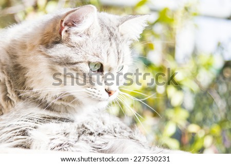 female cat of siberian breed at three years, silver version