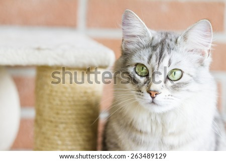 female cat of siberian breed, silver