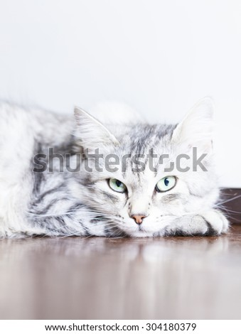 female cat of siberian breed, silver version,look at the camera - stock photo