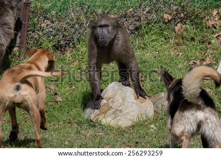 Female chacma baboon threatened by dogs in Cape Town South Africa - stock photo