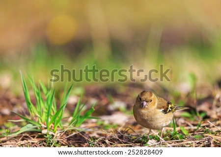 Female Chaffinch sit on a meadow - stock photo
